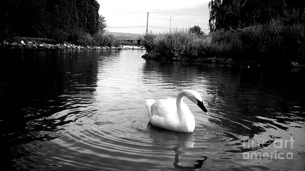 Swan Art Print featuring the photograph Swan In Black And White by LKB Art and Photography