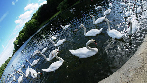 White Art Print featuring the photograph Swan Lake by James Golding