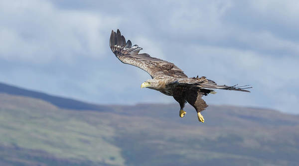White-tailed Eagle Art Print featuring the photograph White-tailed Eagle On Mull by Peter Walkden