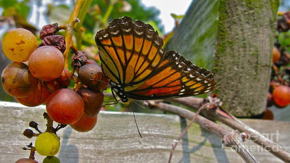 Butterfly Art Print featuring the photograph With The Grape by PJ Cloud
