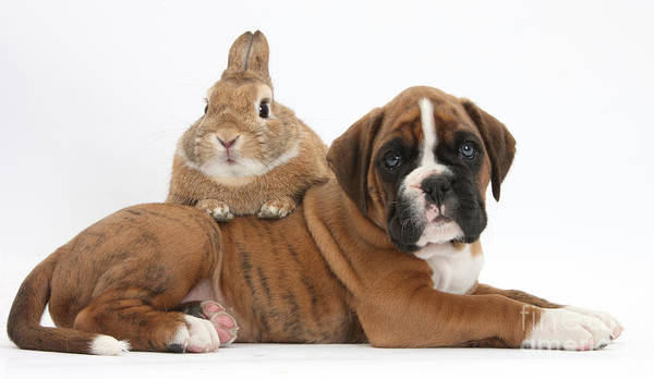 Boxer Print featuring the photograph Boxer Puppy And Netherland-cross Rabbit by Mark Taylor