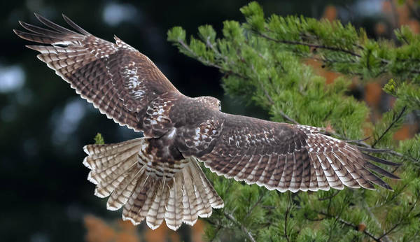 Art Print featuring the photograph Red-tailed Hawk by Brian Stevens