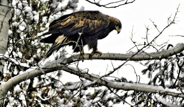 Eagles Art Print featuring the photograph Golden Eagle Watches by Don Mann