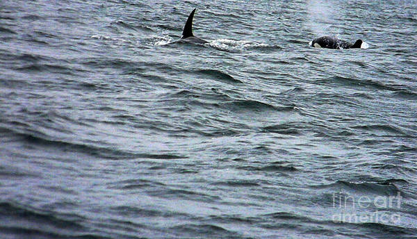 Orca Art Print featuring the photograph Orca Whales by Derek Swift