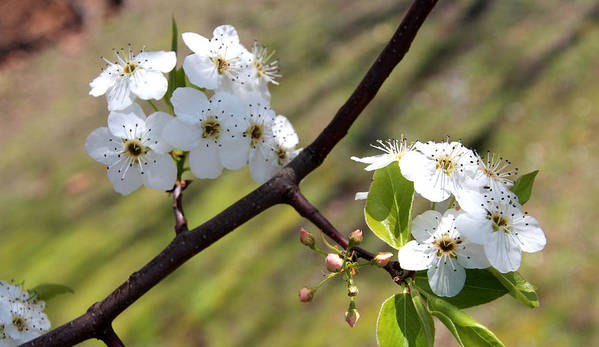 Blossoms Art Print featuring the photograph Blooming Pear Tree by Carolyn Fletcher