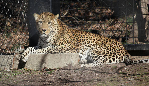 Maryland Art Print featuring the photograph Leopard Relaxing by Ronald Reid