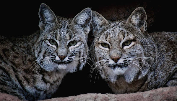 Bobcats Art Print featuring the photograph Side By Side by Elaine Malott