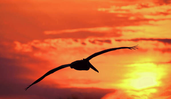 Pelican In Flight Art Print featuring the photograph Sunrise Fight by HH Photography of Florida