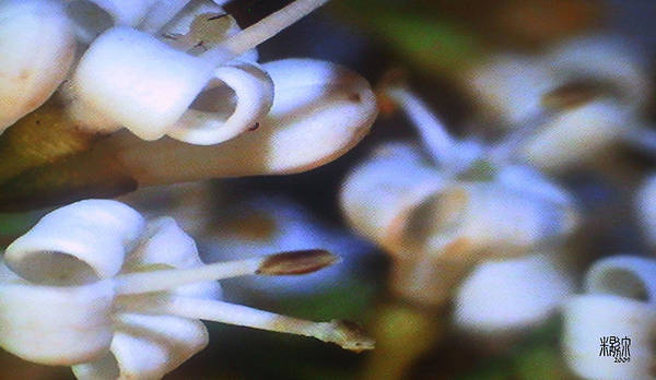 Microscopics Art Print featuring the photograph Tiny Flowers by Michele Caporaso