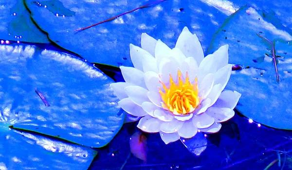 Waterlilly Art Print featuring the photograph Blue Water Lily by Ian MacDonald