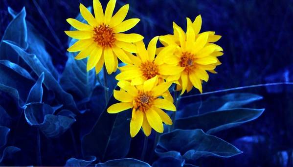 Sunflowers Art Print featuring the photograph Wild Sunflowers by Tiffany Vest