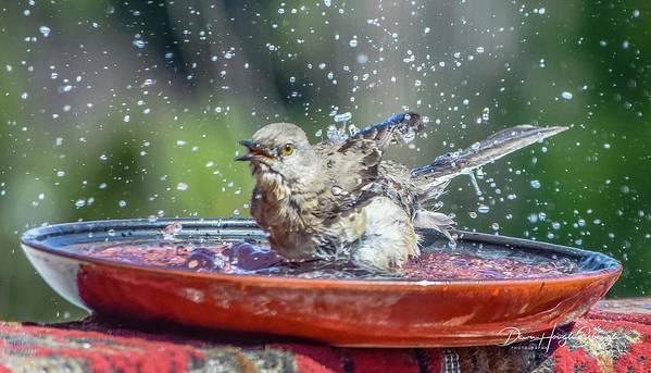 Mockingbird Art Print featuring the photograph Bird In A Bath by Dawn Hough Sebaugh