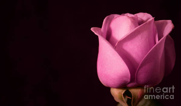 Rose Art Print featuring the photograph Pink Rose by Robin Lynne Schwind