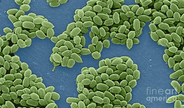 Science Print featuring the photograph Anthrax Bacteria Sem by Science Source