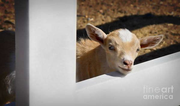 Goat Art Print featuring the photograph Baby Goat by Dianne Phelps