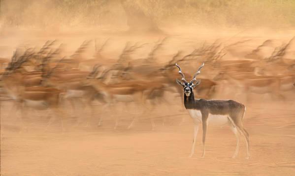 Migration Art Print featuring the photograph Black Bucks by Sayyed Nayyer Reza