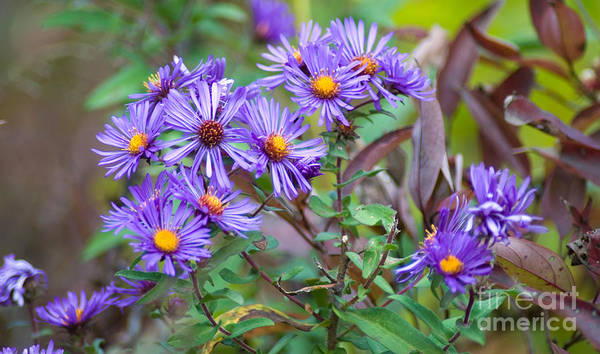 Purple Flowers Art Print featuring the photograph Purple Asters by Optical Playground By MP Ray