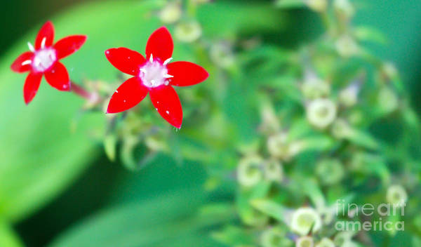 Red Flower Art Print featuring the photograph Red Star by Optical Playground By MP Ray