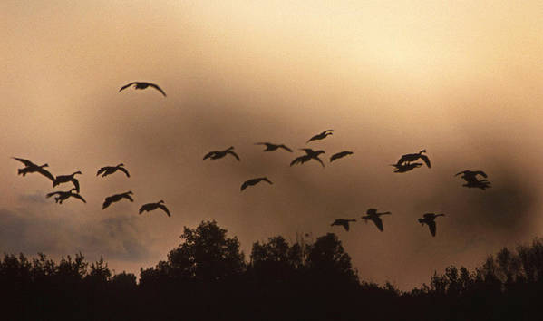 Geese Print featuring the photograph Sunrise Fog And Incoming by Skip Willits