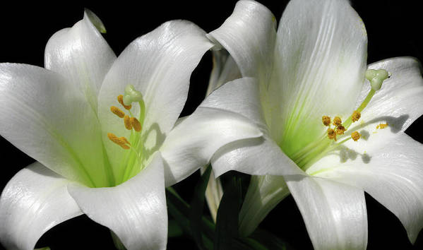 Lily Art Print featuring the photograph Lilies by Mary Lane