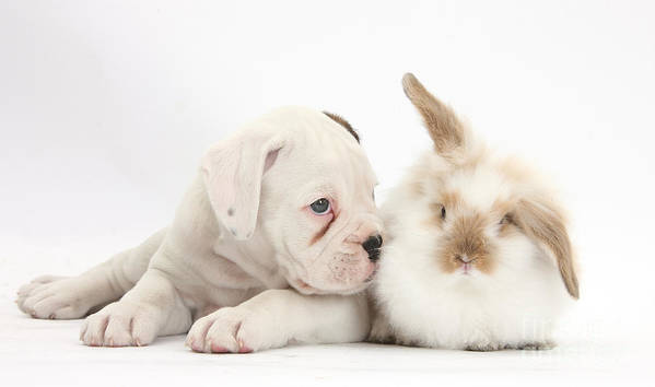 Boxer Art Print featuring the Boxer Puppy And Young Fluffy Rabbit by Mark Taylor