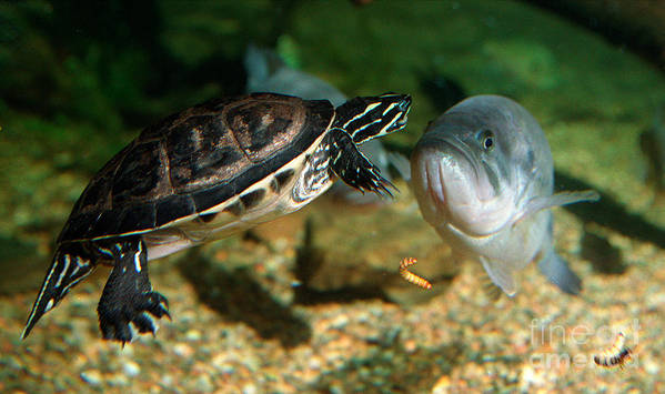 Aquarium Art Print featuring the photograph A Large Mouthed Bass And A Chicken Turtle In Aquarium In Cape Co by Matt Suess