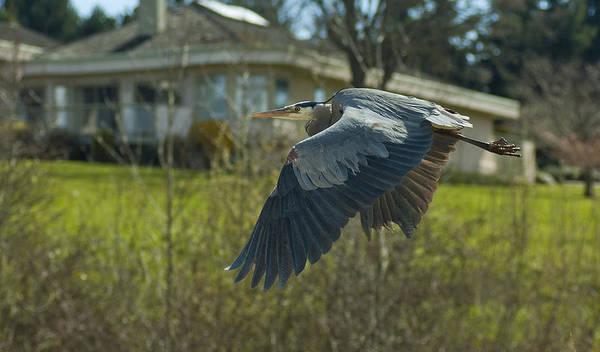 Animal Art Print featuring the photograph Blue Heron by Greg Horler