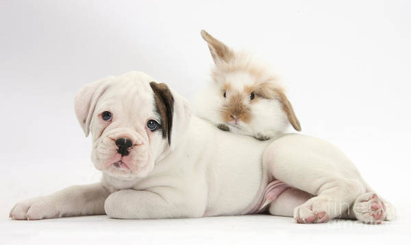 Nature Art Print featuring the photograph Boxer Puppy And Young Fluffy Rabbit by Mark Taylor