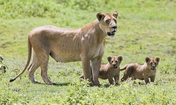 African Art Print featuring the photograph Lioness With Cubs by Carson Ganci