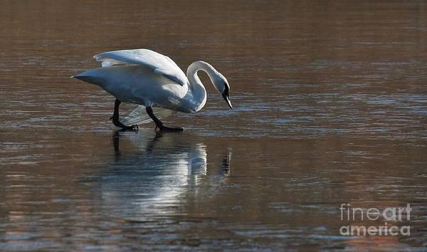 Swan Art Print featuring the photograph Mirror Mirror by Joy Bradley