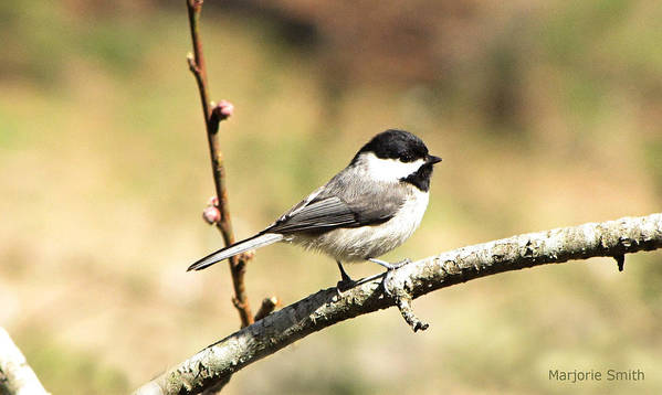 Chickadee Art Print featuring the photograph My Little Chickadee by Marjorie Smith