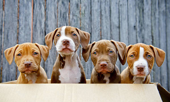 Horizontal Art Print featuring the photograph Pitbull Puppies by Ruthlessphotos.com