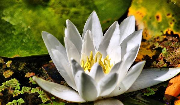 Art Print featuring the photograph Waterlily by Meeli Sonn