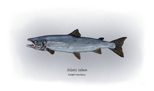 Atlantic Salmon Art Print featuring the drawing Atlantic Salmon by Ralph Martens