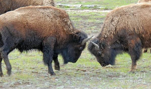 Bison Art Print featuring the photograph Bison Standoff by Dennis Hammer