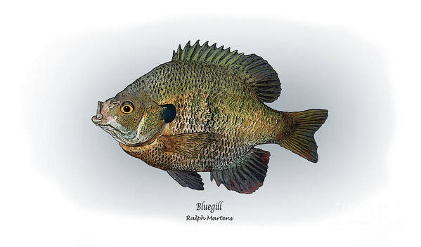 Bluegill Print featuring the painting Bluegill by Ralph Martens
