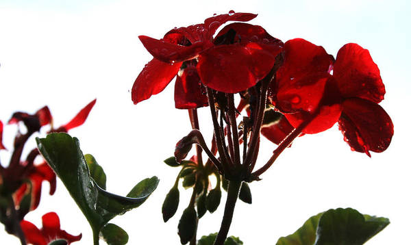 Red Art Print featuring the photograph Isolated Red Geranium by Karen Fowler