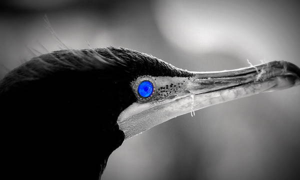 Double-crested Cormorant Art Print featuring the photograph Old Blue Eyes Is Back by Imagery-at- Work