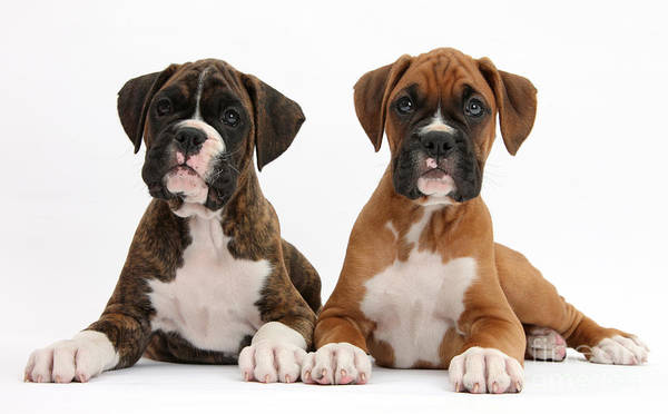 Nature Print featuring the photograph Boxer Puppies by Mark Taylor