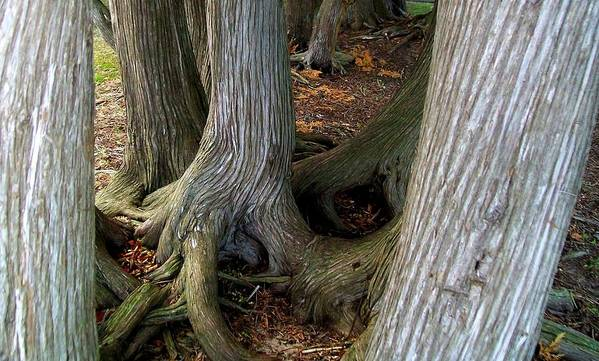 Trees Art Print featuring the photograph Barky Barky Trees by Michelle Calkins