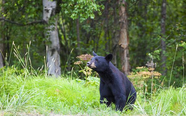 Alaska Art Print featuring the photograph Black Bear by Kyle Lavey