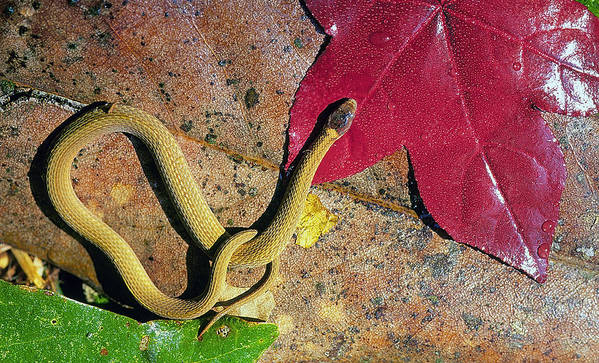 Southeastern Art Print featuring the photograph Crowned Snake by Buddy Mays