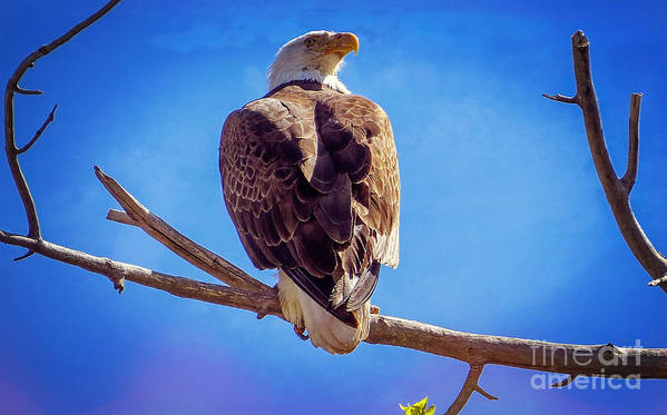 American Bald Eagle Art Print featuring the photograph Looking Right by Bob Hislop