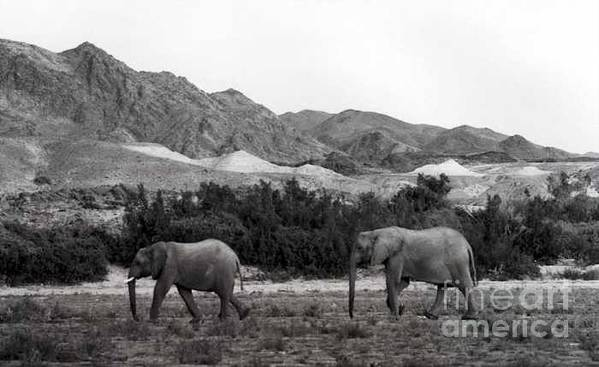 Elephants Art Print featuring the photograph Searching by Susan Chandler