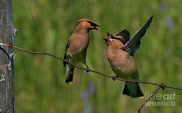 Festblues Art Print featuring the photograph Waxwing Love.. by Nina Stavlund