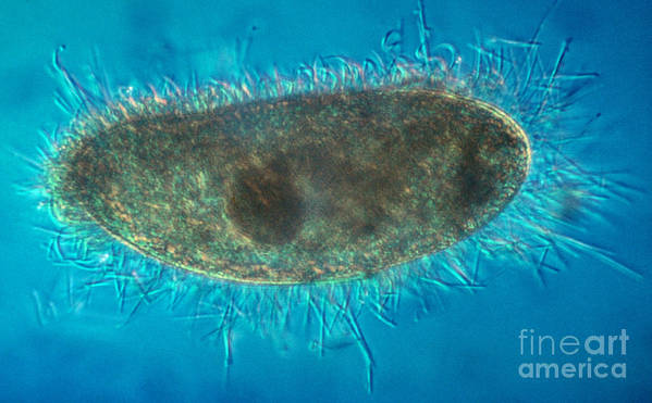 Unicellular Art Print featuring the photograph Paramecium With Ejected Trichocysts by Eric V. Grave