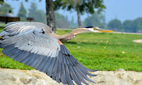 Great Blue Heron Art Print featuring the photograph Away From Here by Fraida Gutovich