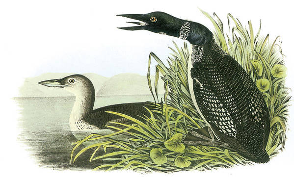 John James Audubon Art Print featuring the painting Common Loon by John James Audubon