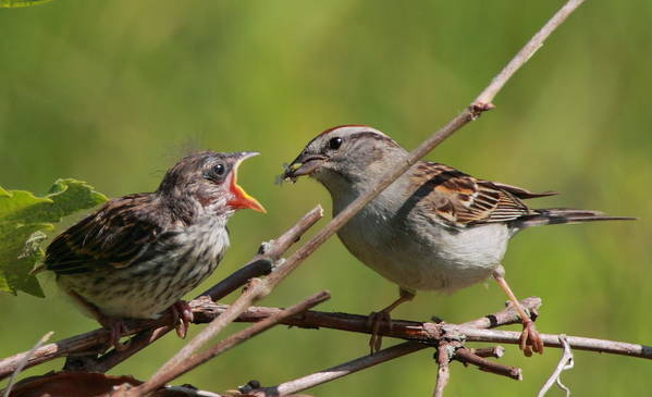 Sparrow Art Print featuring the photograph Feeding Time by Bruce J Robinson