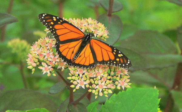Monarch Butterfly Art Print featuring the photograph Morning Monarch by Don Downer